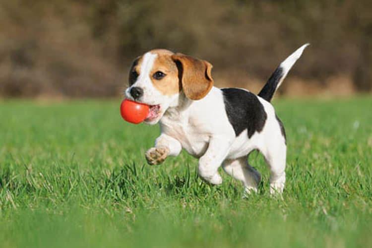 cachorro corriendo con una pelota roja en la boca